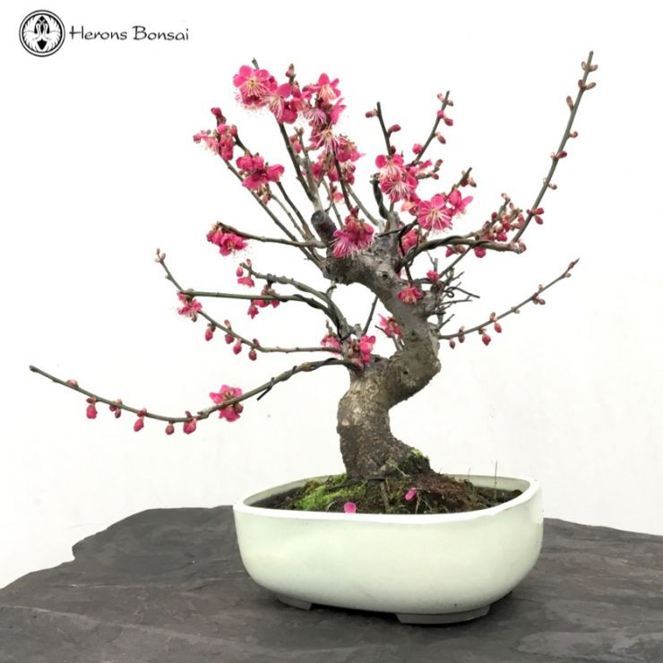 Flowering Japanese Apricot (Prunus Mume)
