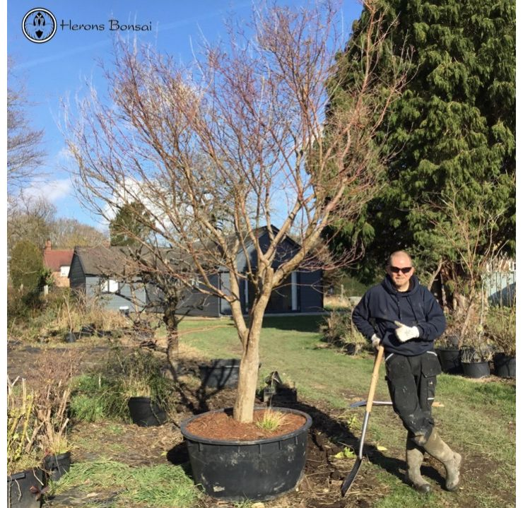 Large Maple for Landscape Garden | COLLECTION ONLY