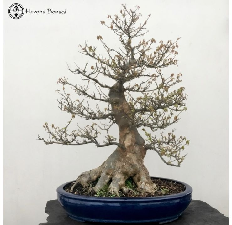 Large Trident Maple | Specimen Bonsai | COLLECTION ONLY
