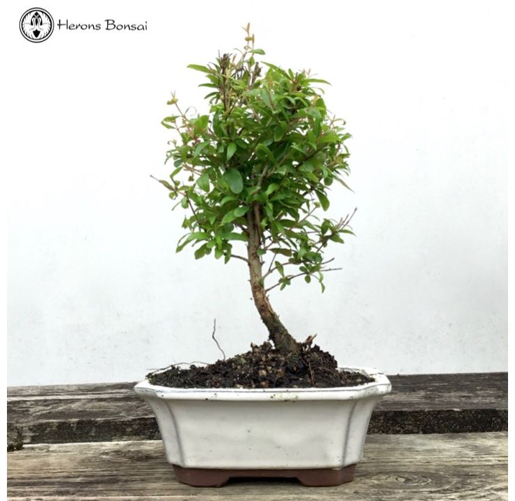 pomegranate bonsai tree