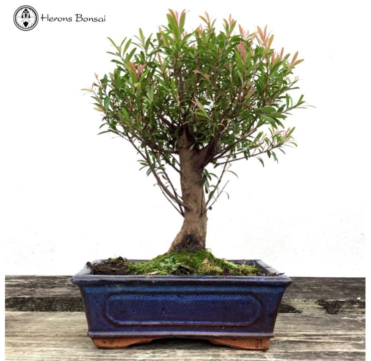 Syzygium (Brush Cherry) Bonsai | Broom Style