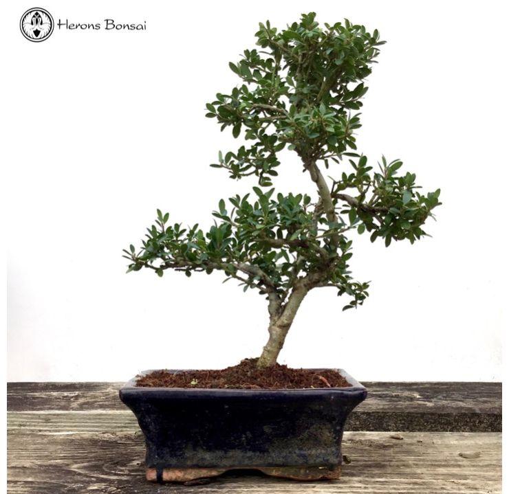 Ilex Bonsai Tree Bonsai Tree