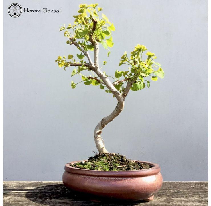 Ginkgo Biloba Bonsai Treeceramic Pot Herons Bonsai