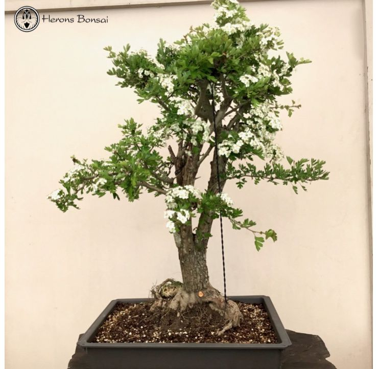 Japanese Hawthorne Bonsai | Large
