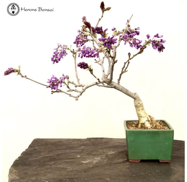 Wisteria Bonsai Tree Care Bonsai Tree
