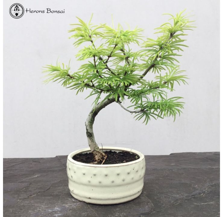 Pseudolarix amabilis 'Chinese Larch' Bonsai Tree
