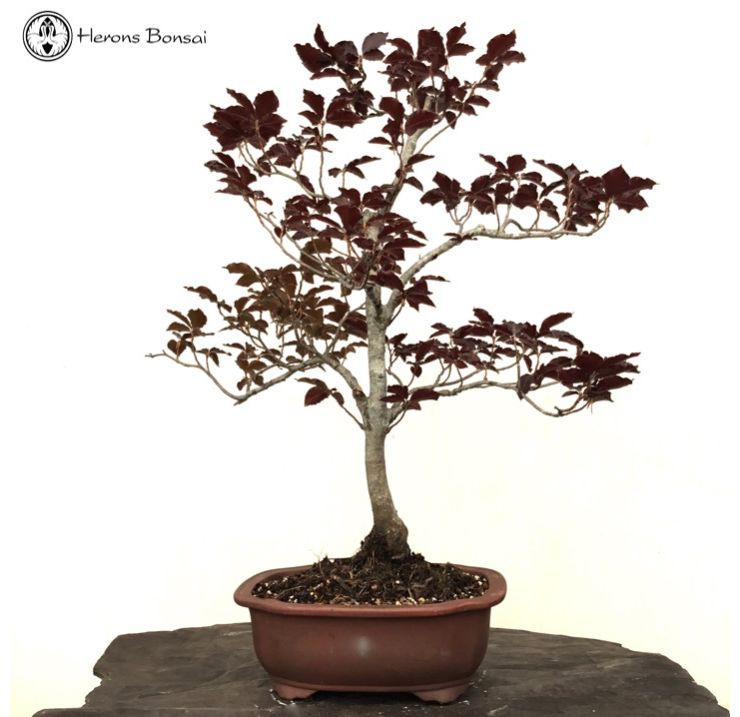 Large Copper Beech | COLLECTION ONLY