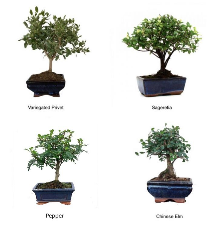 2 Small Bonsai Trees | Special Offer Mix and Match