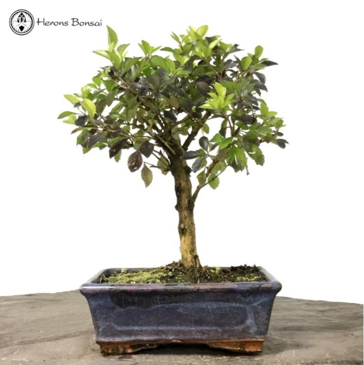 Duranta erecta 'Golden Dewdrop' Bonsai Tree