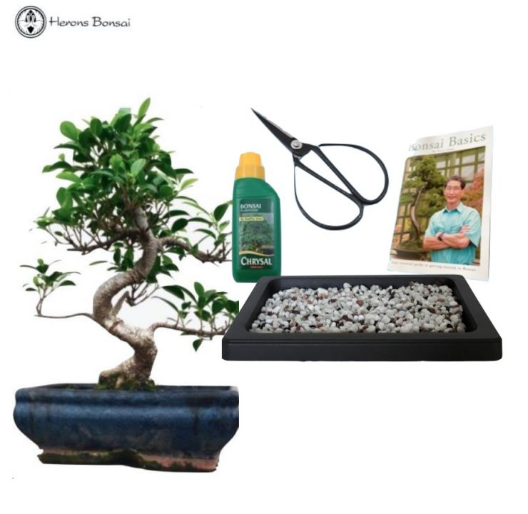 ficus beginners easy indoor bonsai gift set | herons bonsai