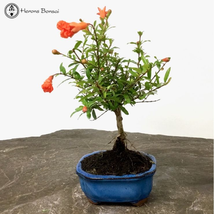 Small Punica granatum (Pomegranate) | Bonsai Tree