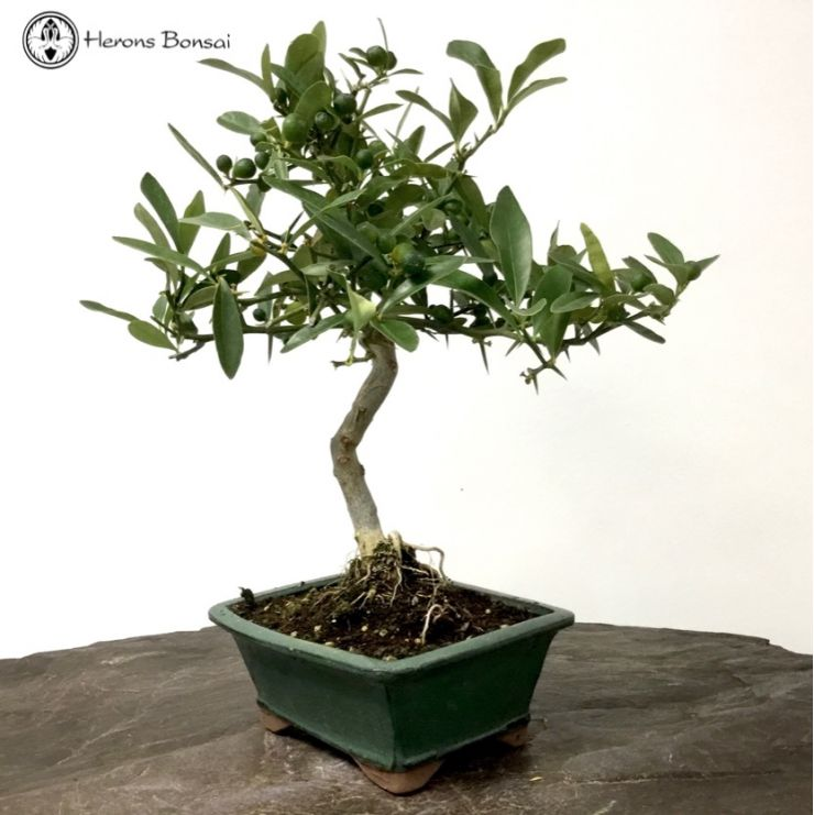Citrus 'Kinzu' Bonsai