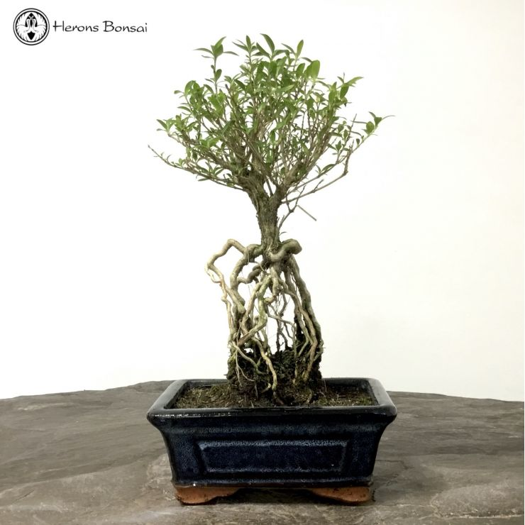 Serissa Bonsai | Tree of a thousand stars | Herons Bonsai