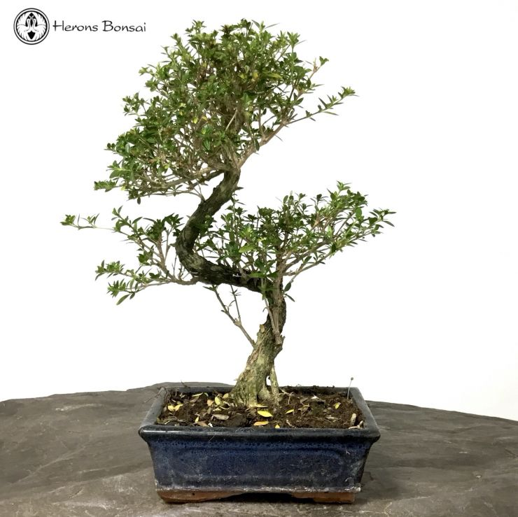 Serissa Bonsai | Tree of a thousand stars