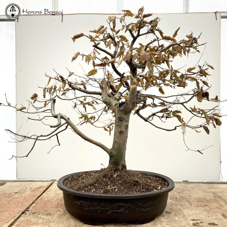 Large Hornbeam | COLLECTION ONLY