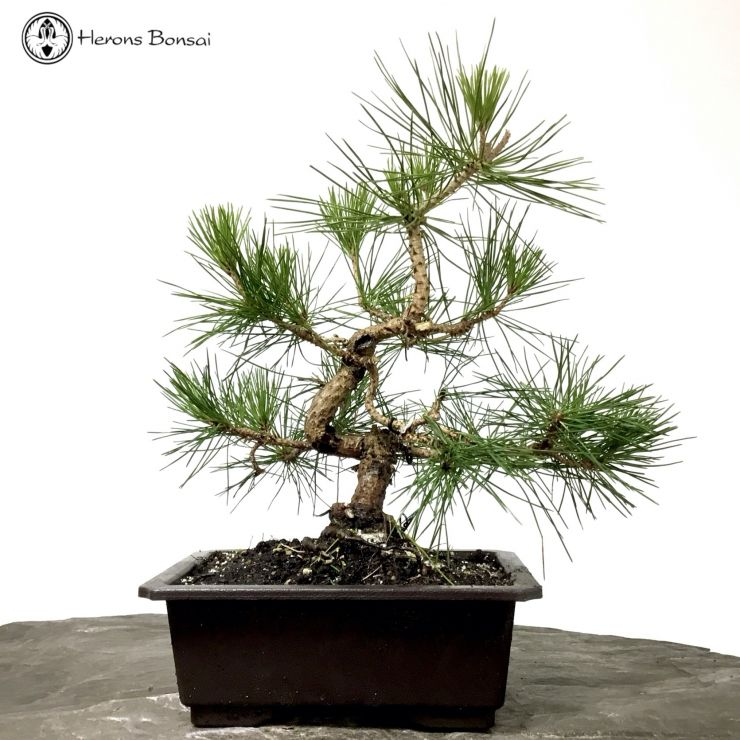 Japanese Wired Black Pine Bonsai Tree Herons Bonsai