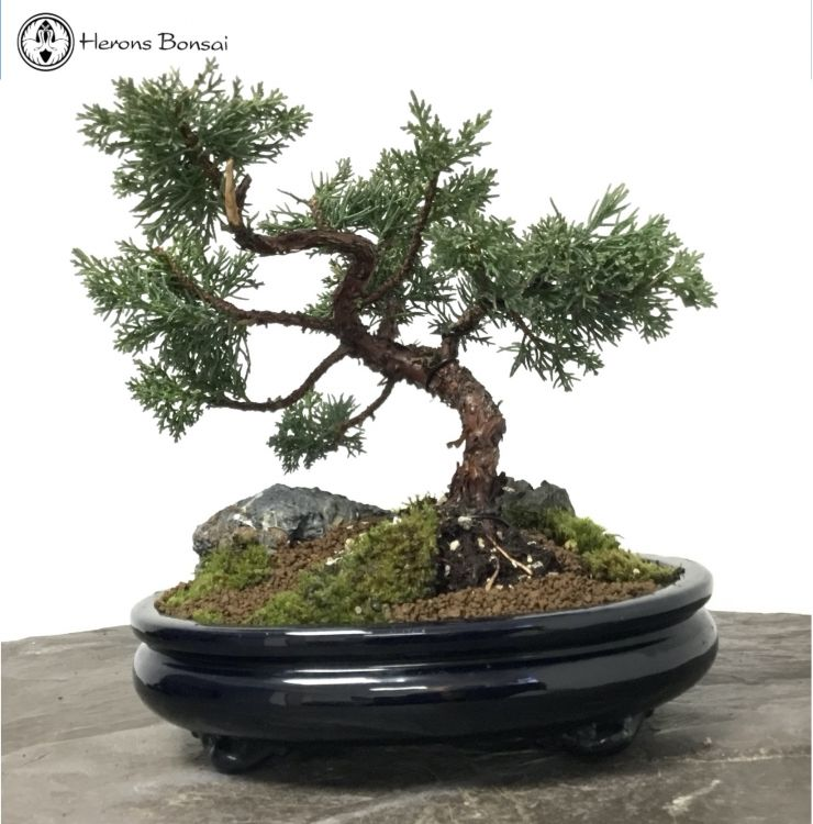 Chinese Juniper Landscape | COLLECTION ONLY