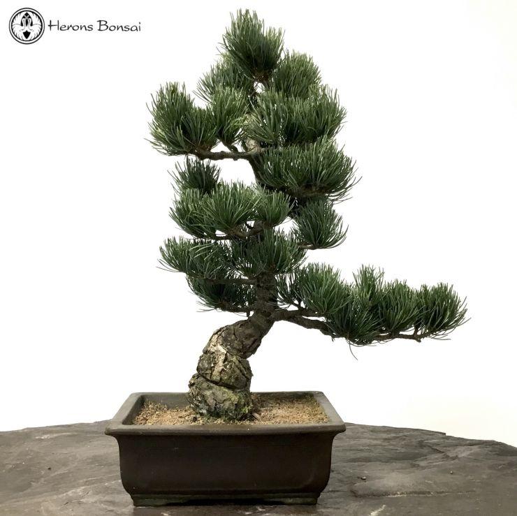 Japanese White Pine Bonsai Tree Herons Bonsai Nursery