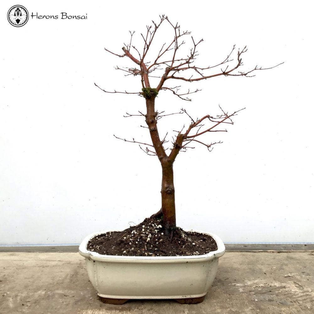 Red Deshojo Maple Bonsai