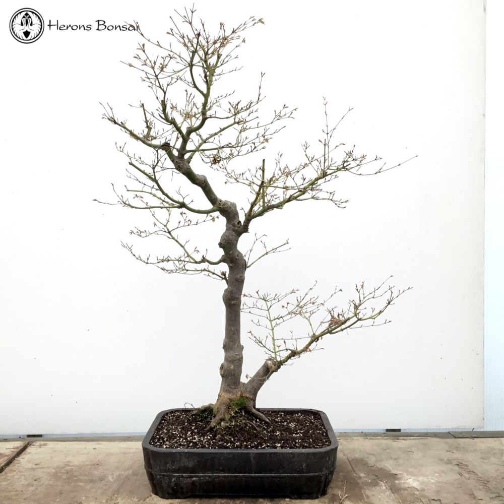 Mountain Maple Bonsai Tree | COLLECTION ONLY
