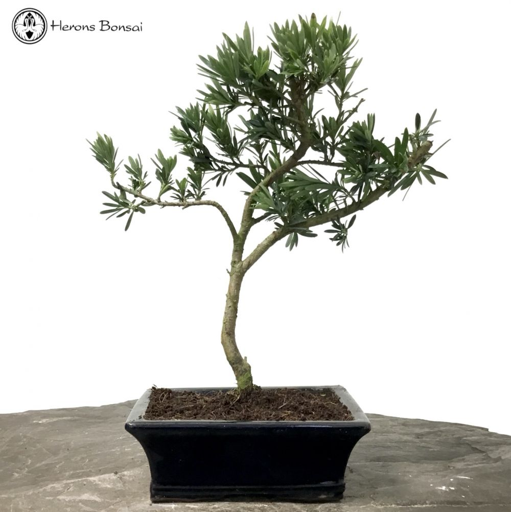 Podocarpus Buddhist Pine Bonsai Tree Herons Bonsai