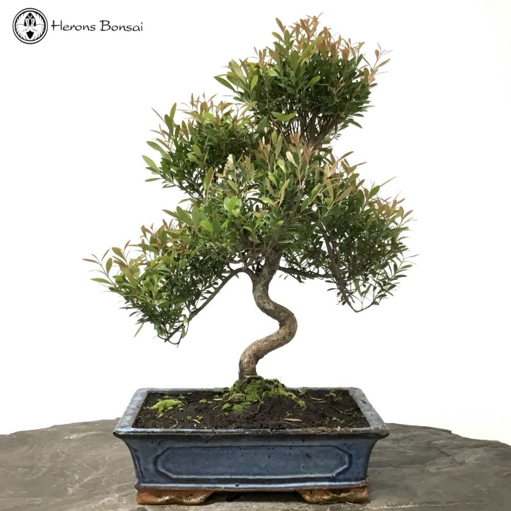 Syzygium (Brush Cherry) Bonsai | S-Shape