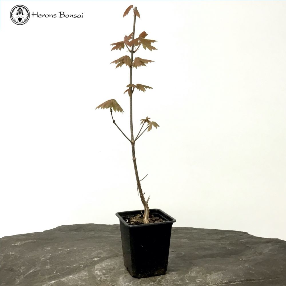 Paperbark Maple Bonsai Starter Tree