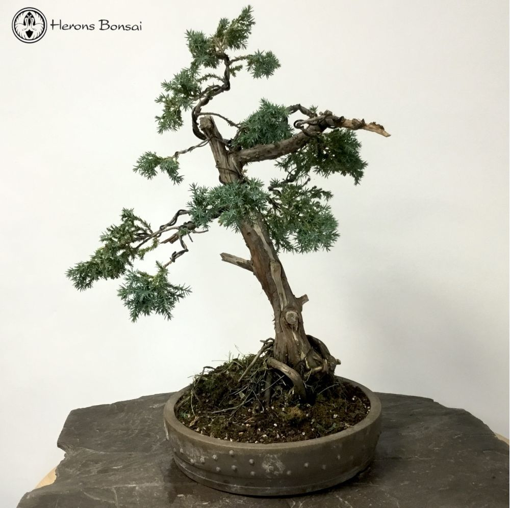 Chinese Juniper in a Drum Pot