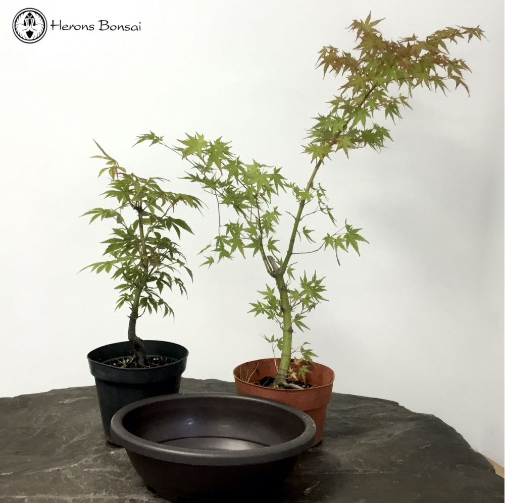 Field Maple Starter Tree Kit