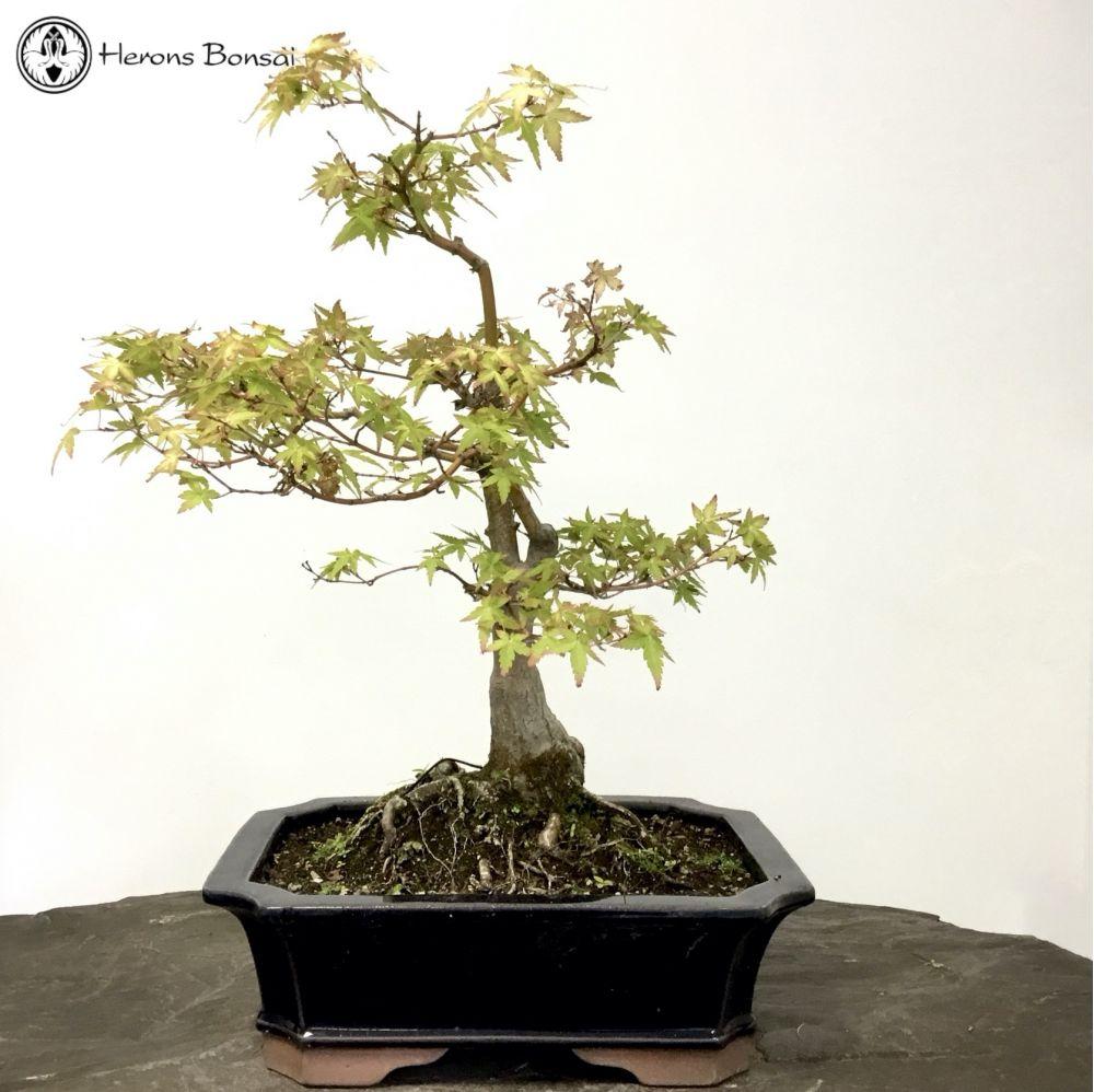 Acer Palmatum Katsura Maple Bonsai Tree Herons Bonsai