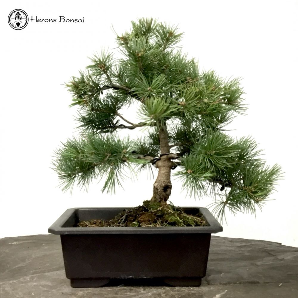 Japanese Black Pine Bonsai Tree Herons Bonsai Nursery