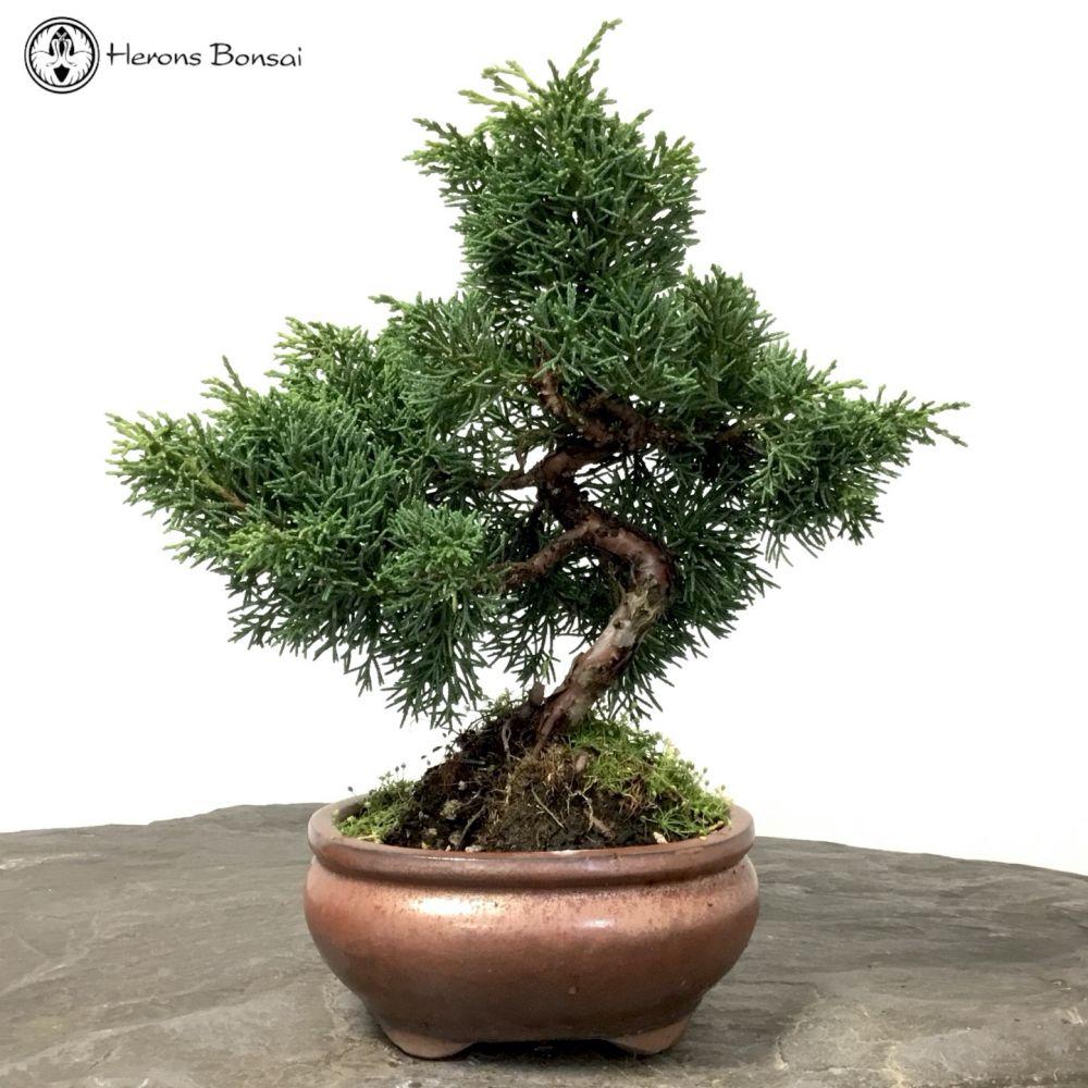 Chinese Juniper Bonsai Tree Herons Bonsai Nursery