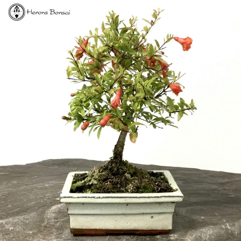 Punica Granatum Pomegranate Bonsai Tree Herons Bonsai