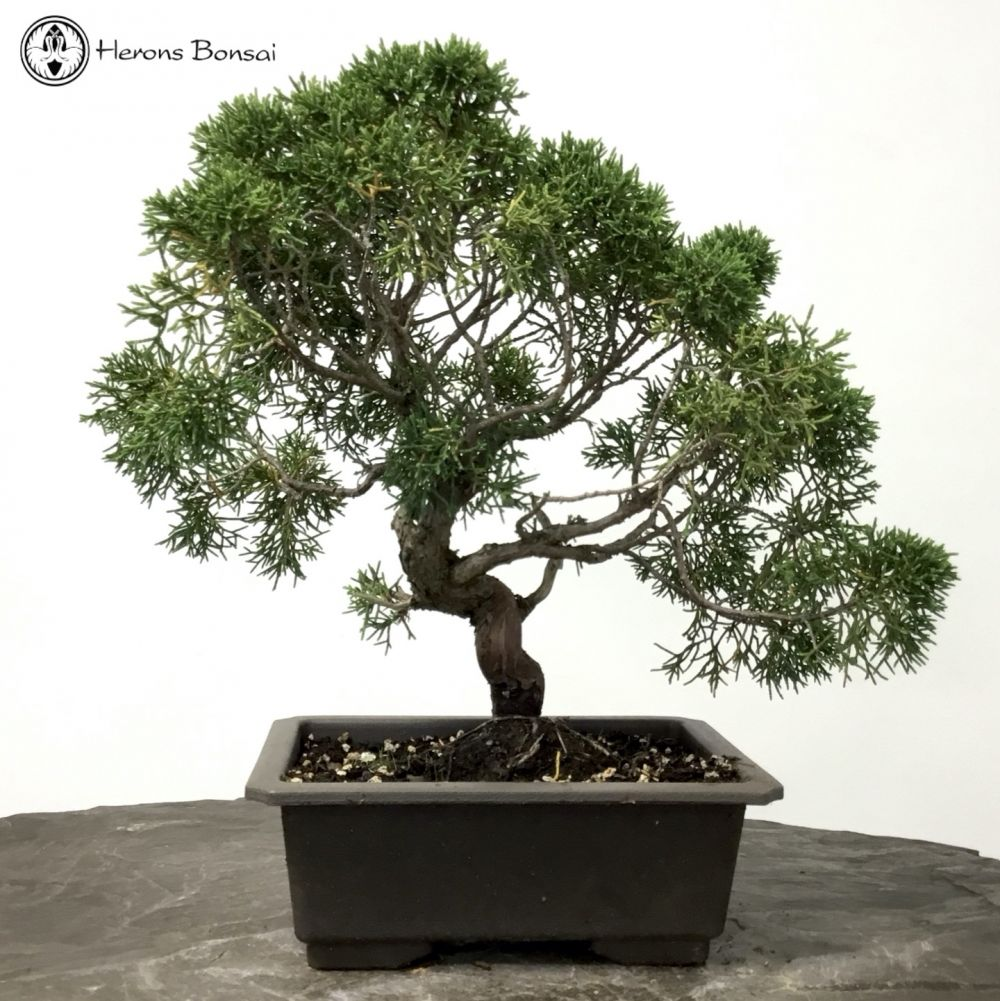 Chinese Juniper | Itiogawa Bonsai Tree