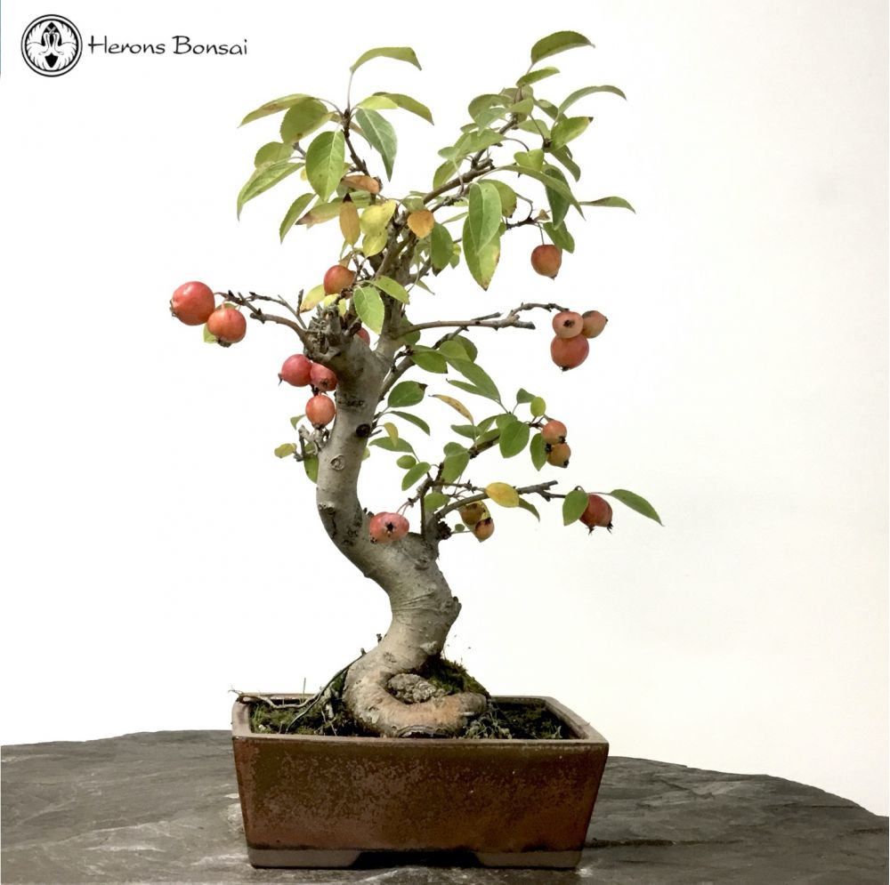 Miniature Crab Apple Bonsai Tree Herons Bonsai Uk