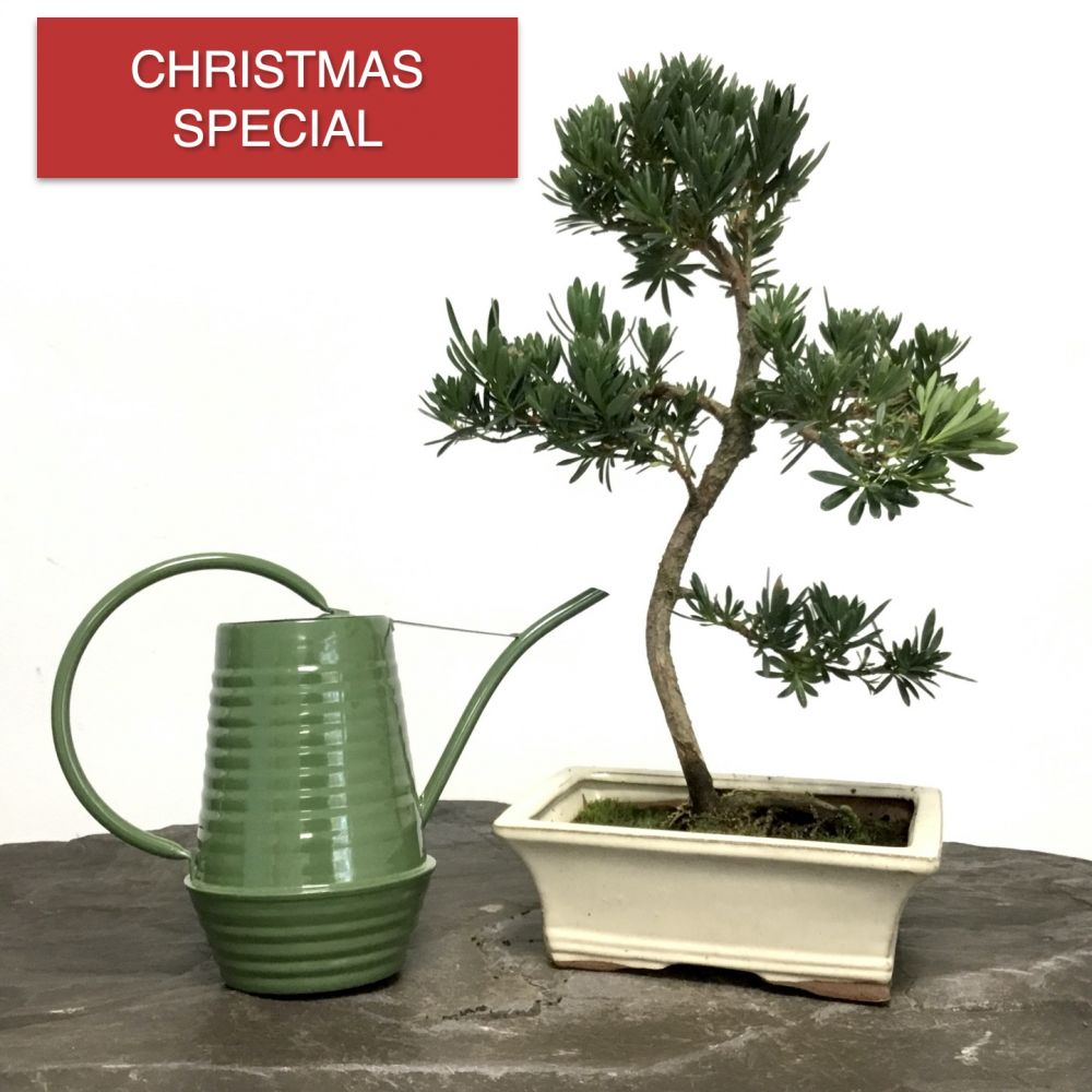 Christmas Special | Podocarpus Bonsai & Watering Can