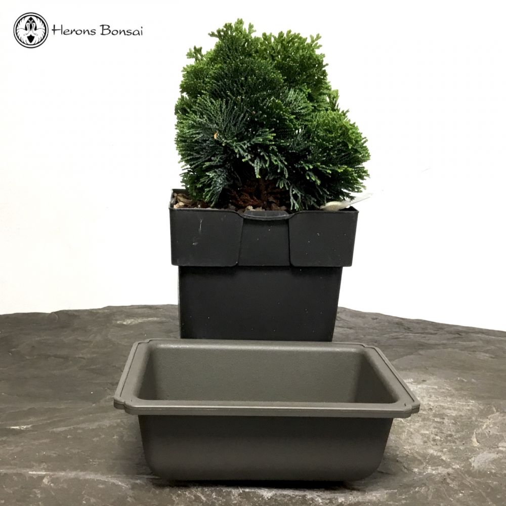 DIY Hinoki Cypress Bonsai | Medium