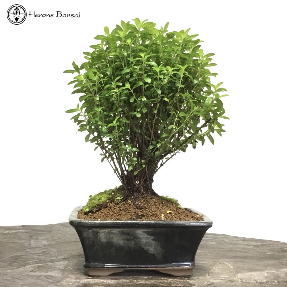 Cuphea or False Heather Bonsai