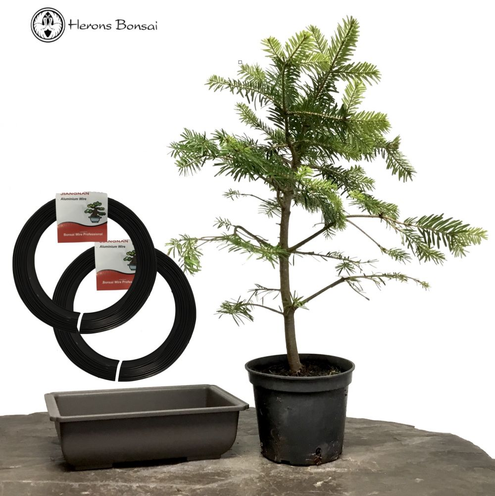DIY Spruce Bonsai Kit