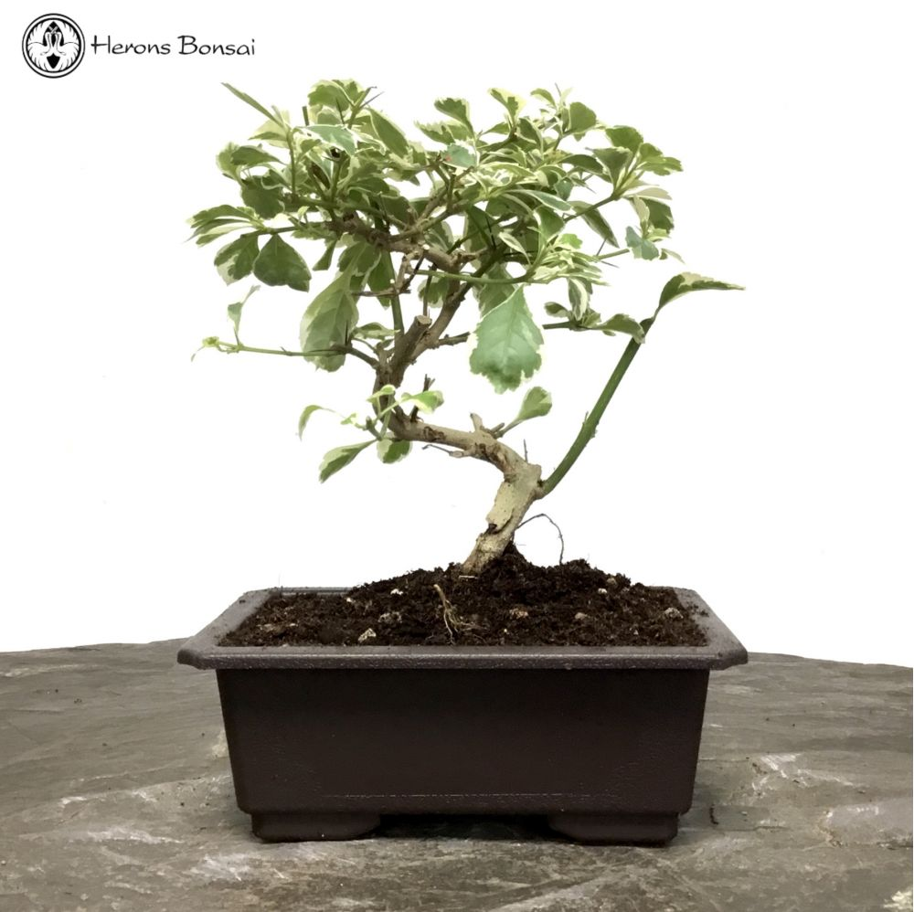 Variegated Duranta 'Golden Dewdrop' Bonsai Tree