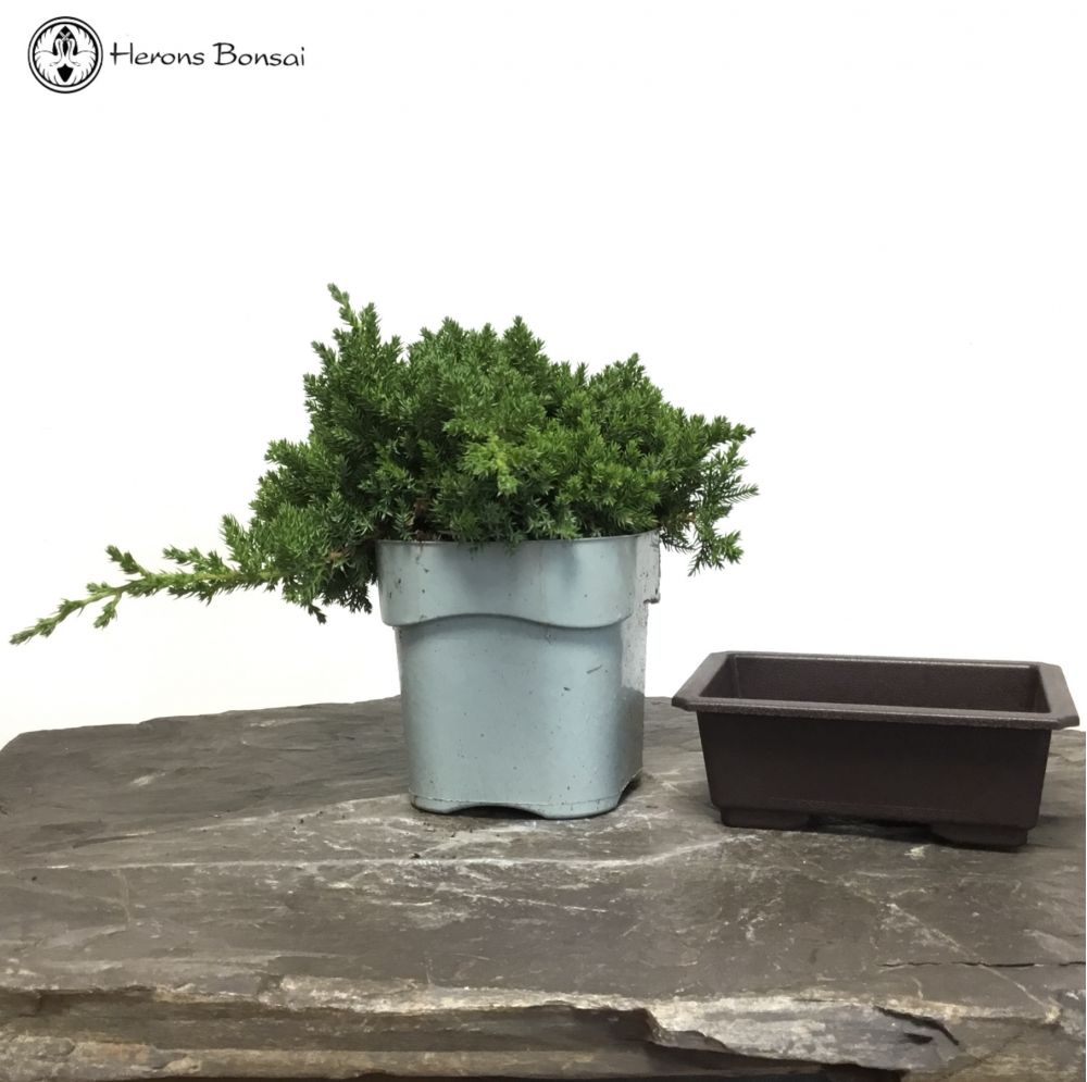 DIY Juniperus procumbens Bonsai Making Kit