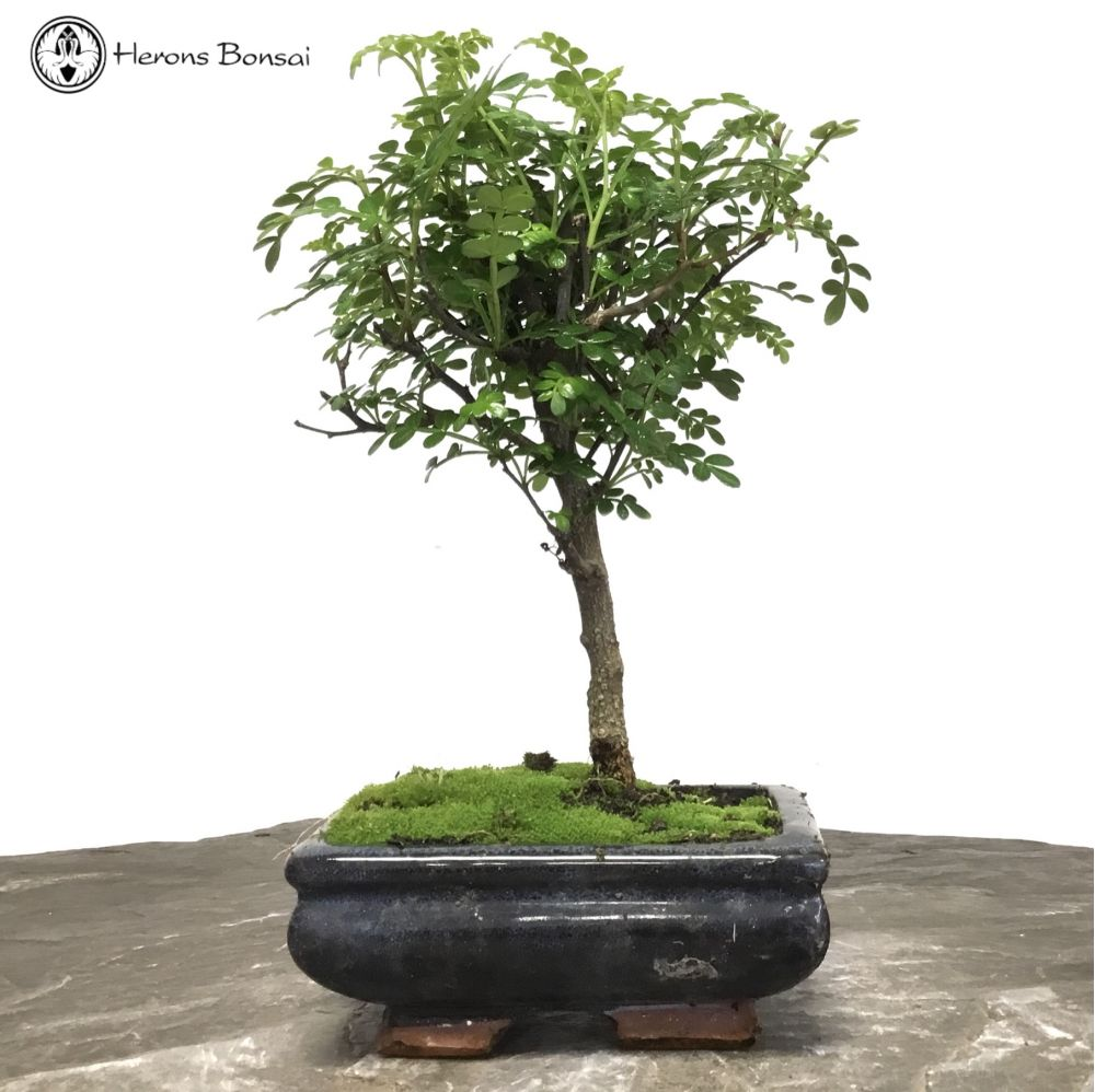 Japan Pepper | Herons Bonsai