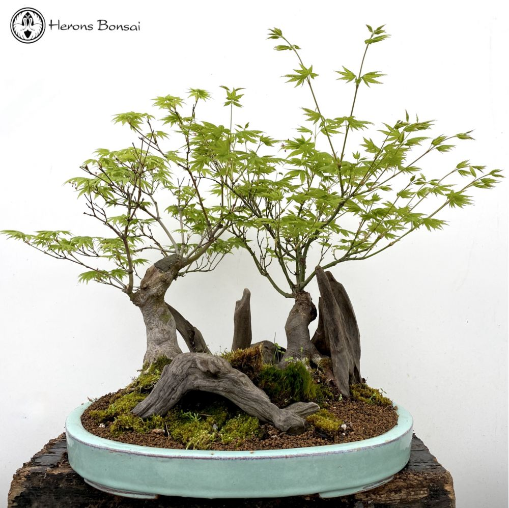 Maple Bonsai Forest with Deadwood