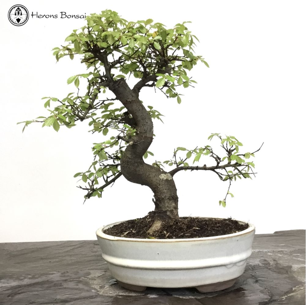 Chinese Elm Bonsai Tree in an Oval Pot