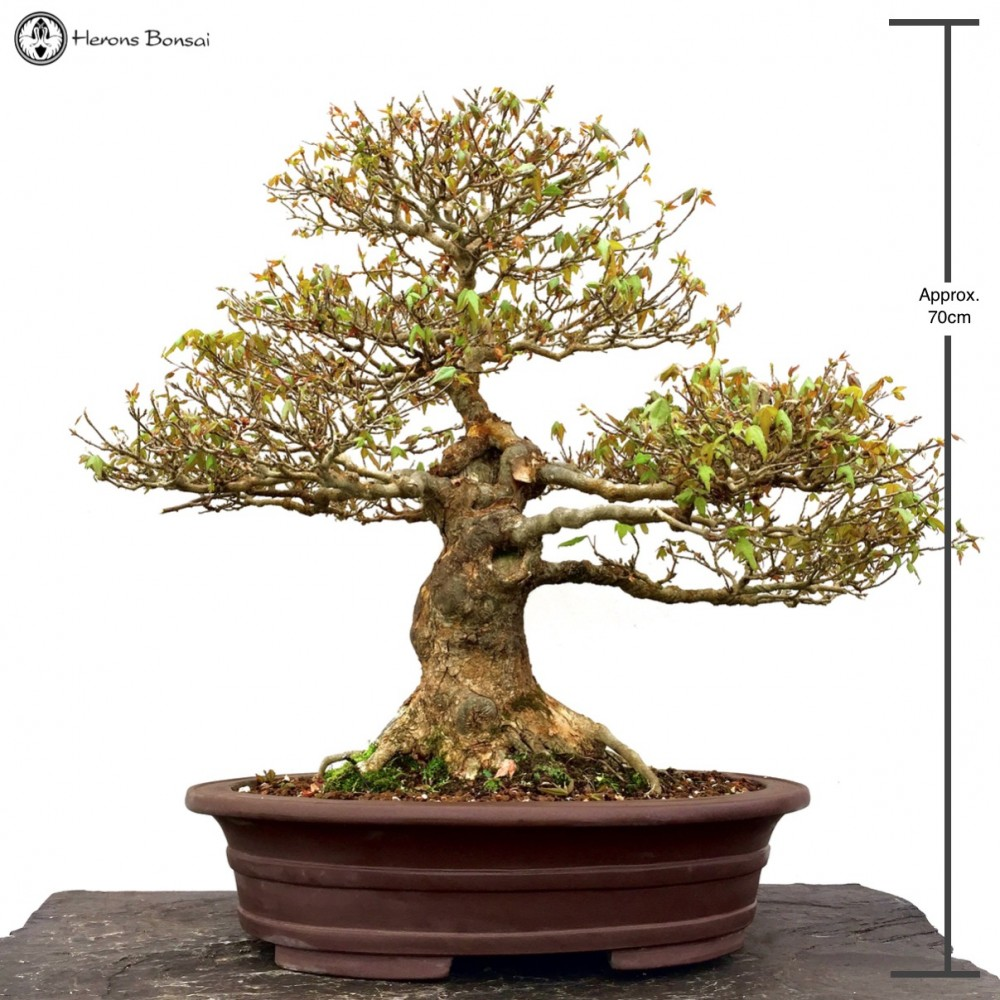 Trident Maple Specimen Bonsai Tree