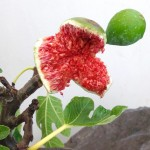 Ficus carica 'Common Fig'