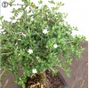Serissa Bonsai | Small