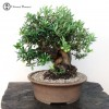 olive bonsai | fruiting