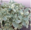 Ligustrum lucid 'Chinese Privet' Variegated |