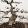 Korean Hornbeam | £1,740 | Oval ceramic pot |
